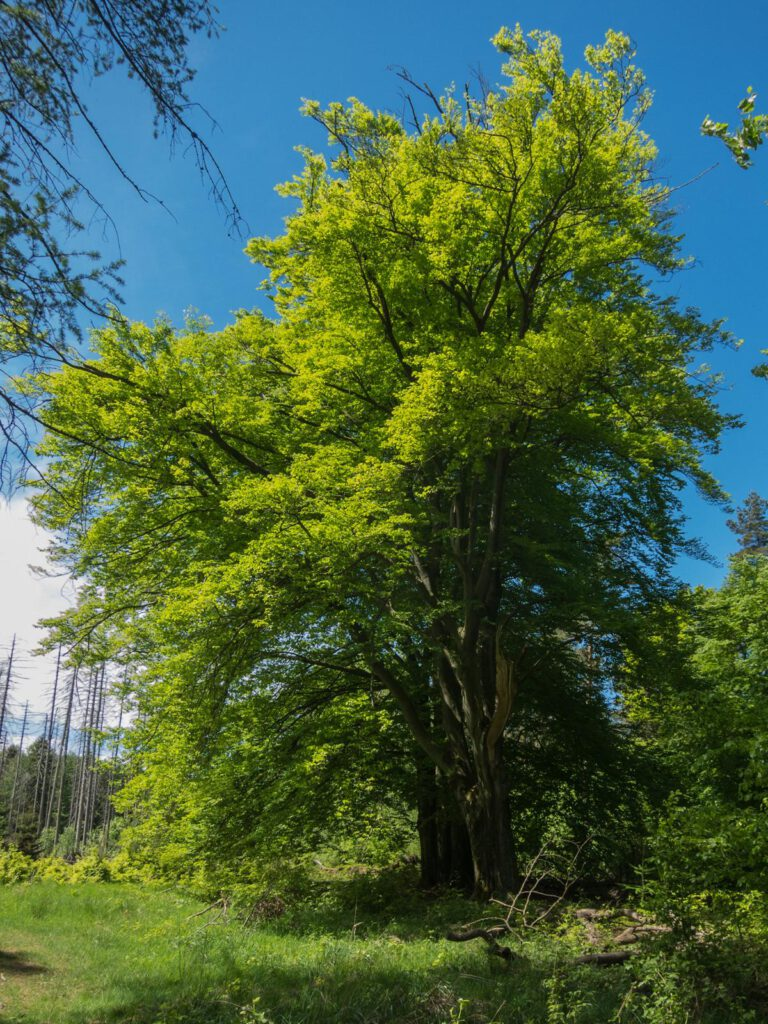 Ein Wahnsinnsbaum auf dem Weg zum Winterberg