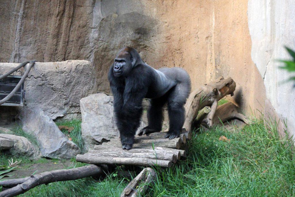 Gorilla (© Zoo Leipzig)