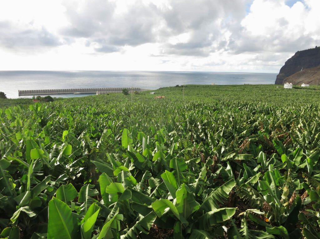 Bananenstauden und die Hafenmauer Puerto Tazacorte